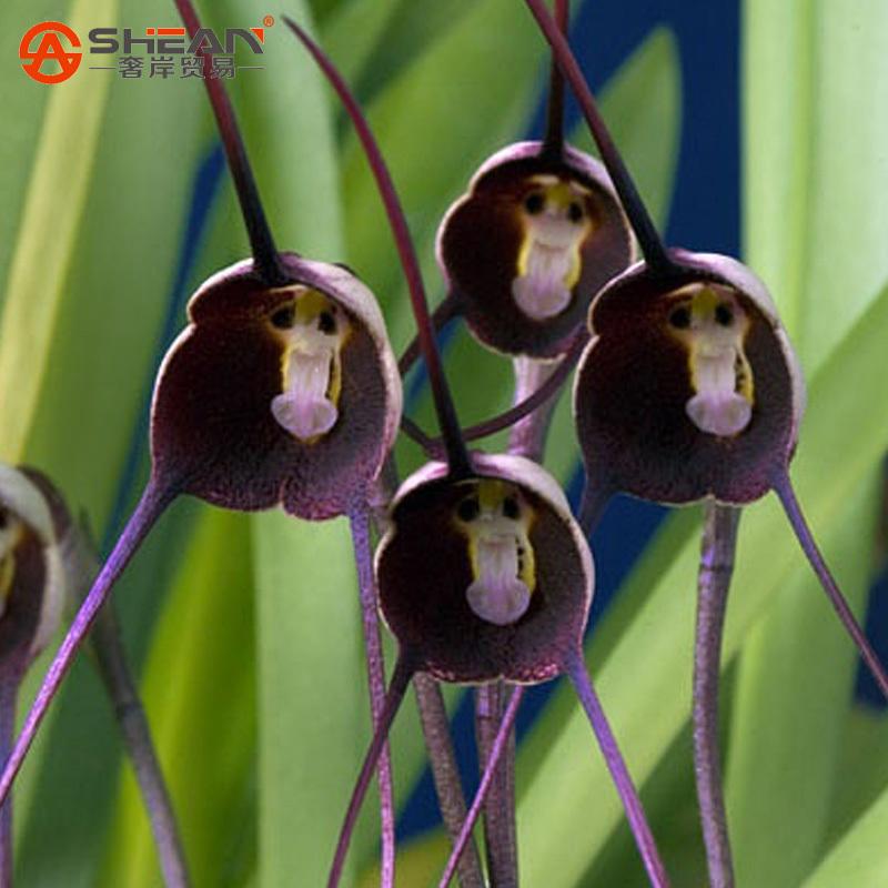 Довольно-редко-черный-лицо-обезьяны-орхидея-семена-растений-патио-и-сад-комнатные-растения-в-горшках-цветы