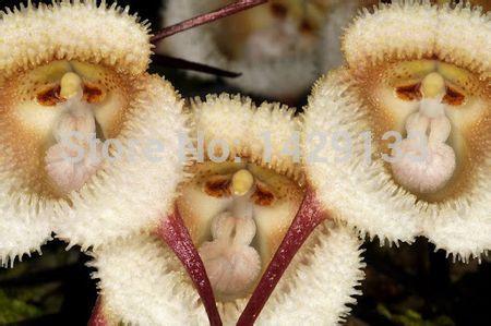 Лицо-обезьяны-орхидеи-семян-200-шт-несколько-сортов-растения-бонсай-семена-для-дома-и-сада-цветы
