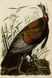 220px-1_wild_turkey