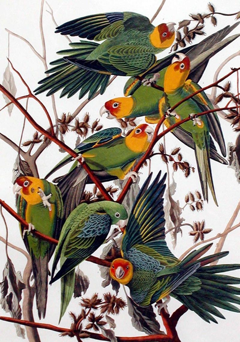 carolina-parrot-x2